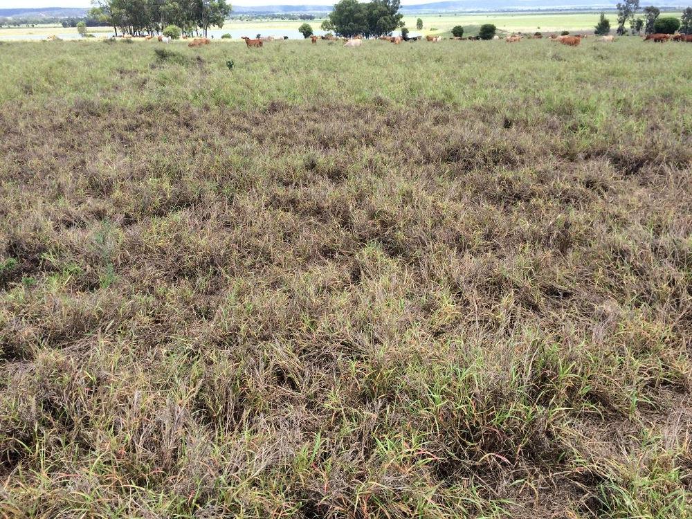 Pasture dieback